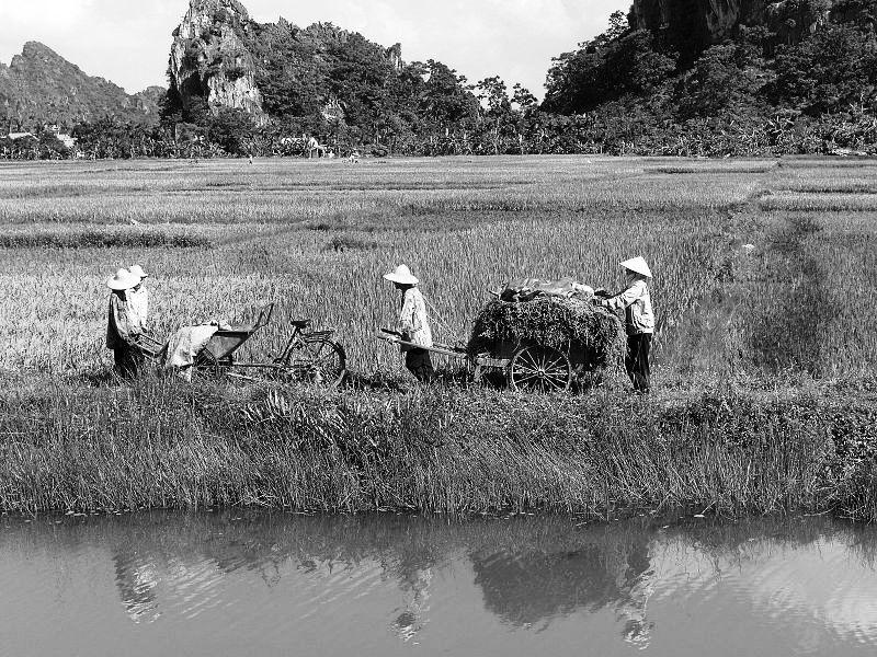 lithoral : rizière baie d'Halong